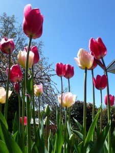 Tulips 'Angelique' and 'Pink Diamond' against a spring sky