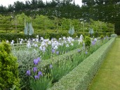 A lovely combination of irises, teucrium, and buxus at Gravetye garden, Hawera.