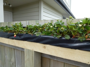 Annemarie's husband built this ingenious strawberry planter box sitting on top of the fence rails. Growing strawberries off the ground will give them more sun and prevent soil contact that can lead to rot.