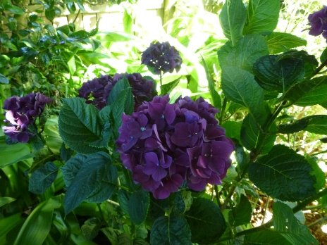 The deep purple colour is the result of a dark red flower meeting acidic soil and trying to turn blue.