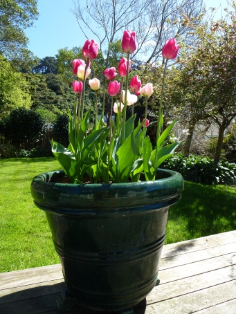 You need a decent size pot for tulips, as they need to be planted at about a spade's depth.
