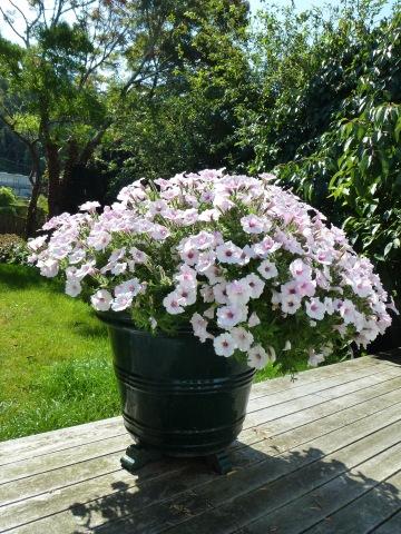 Petunia 'Bubblegum'