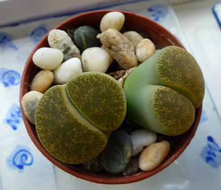 Our stone plant is doing its best to blend in with the pebbles around it..
