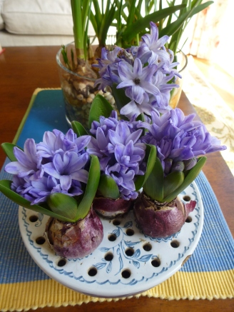 Hyacinths grown indoors