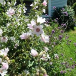 Lavatera 'Barnsley' and Verbena bonariensis