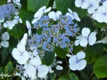 Blue lacecap hydrangeas