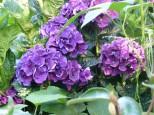 Hydrangea 'Raspberry Crush'