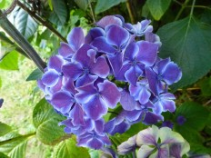 Bi-coloured hydrangea