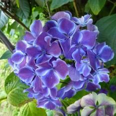 Bi-coloured hydrangea
