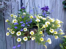 Hanging basket with petunias, heliotrope, and lobelia